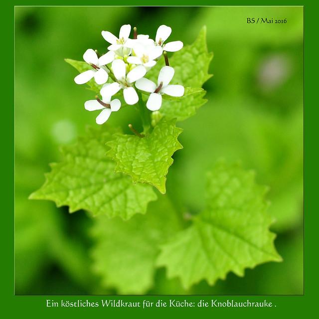 Heimische Wildpflanze Wildgemüse Sammeln lohnt sich. Die zarten grünen Blätter der Gewöhnlichen Knoblauchrauke (Alliaria petiolata) sind ein wunderbares Wildgemüse. Das feine Knoblaucharoma macht sich gut in Kräuterquark, als Brotaufstrich oder Pesto ... Foto: Brigitte Stolle Mai 2016