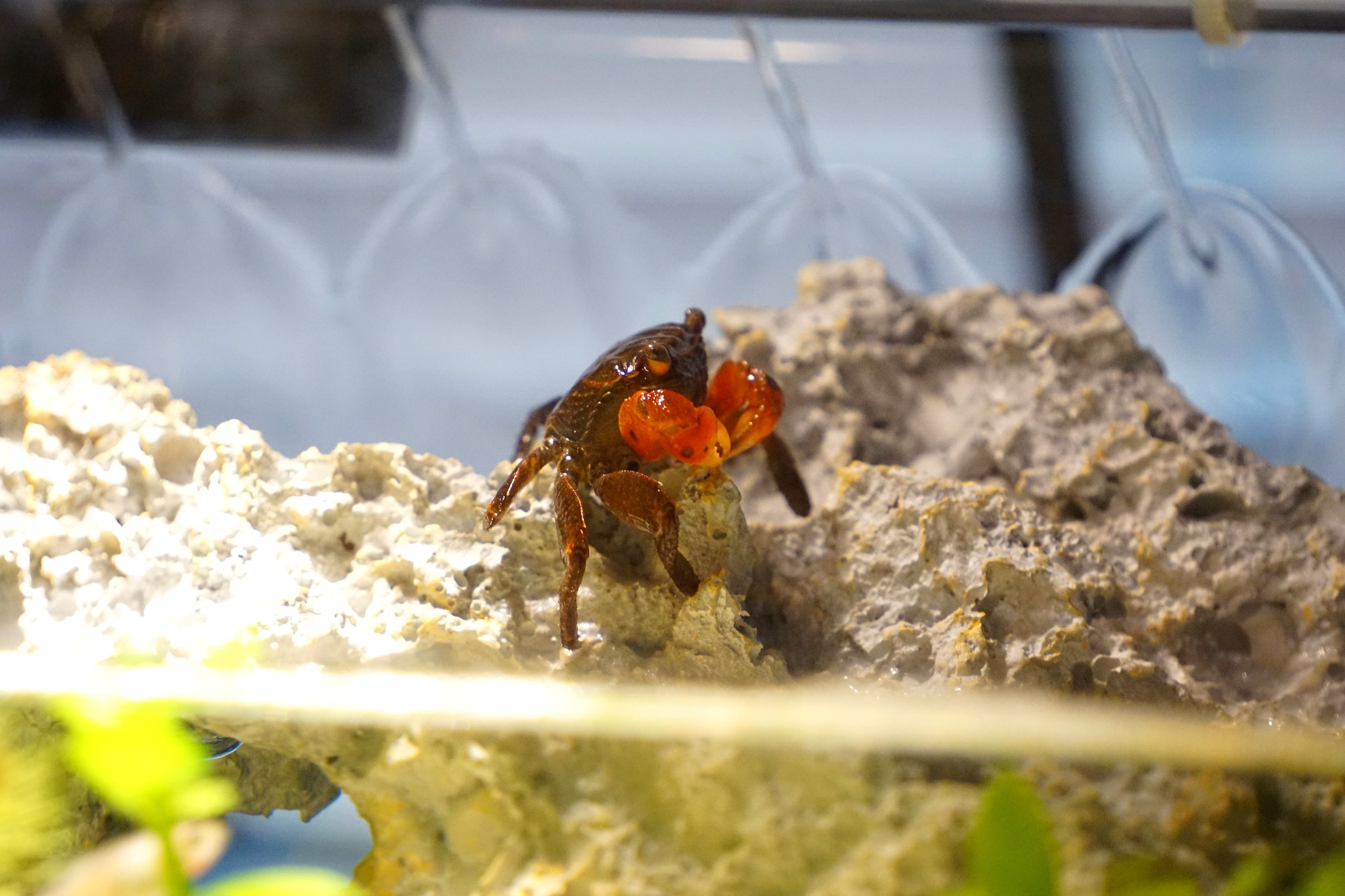 caresheet: red claw crab | perisesarma bidens | aquariadise