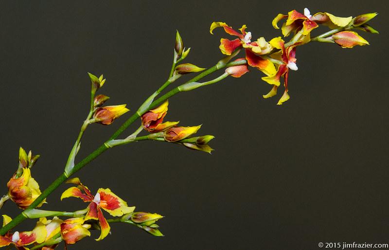 Orchid Diagonal