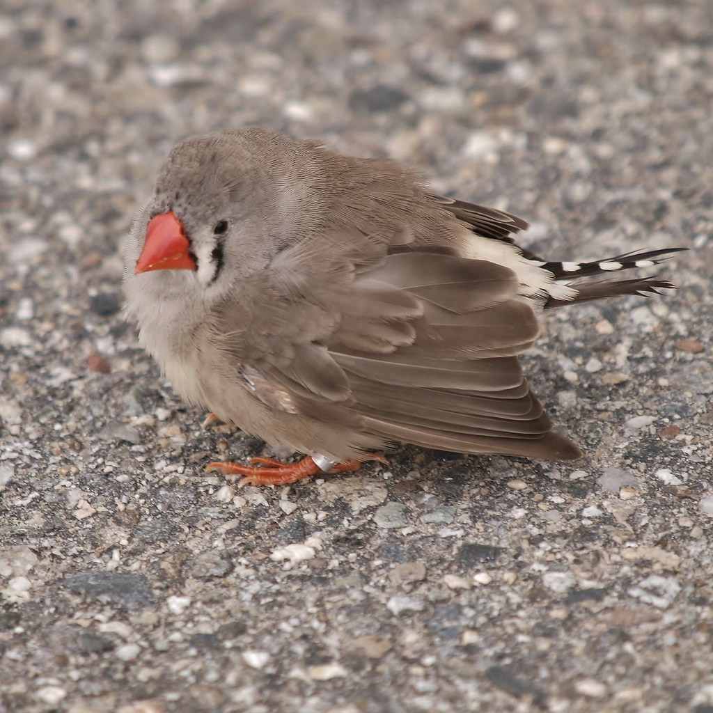 Zebra Finch Female With Leg Band Taken In Front Of
