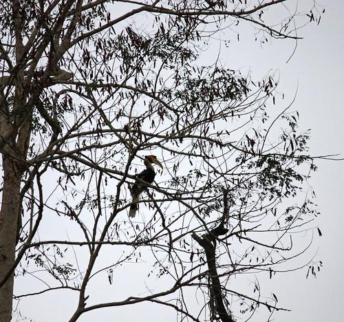 an actual hornbill