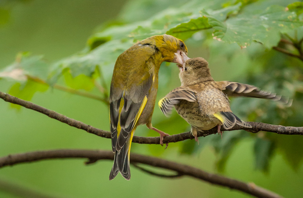 European Greenfinches or Greenfinches as Aviary Birds ...