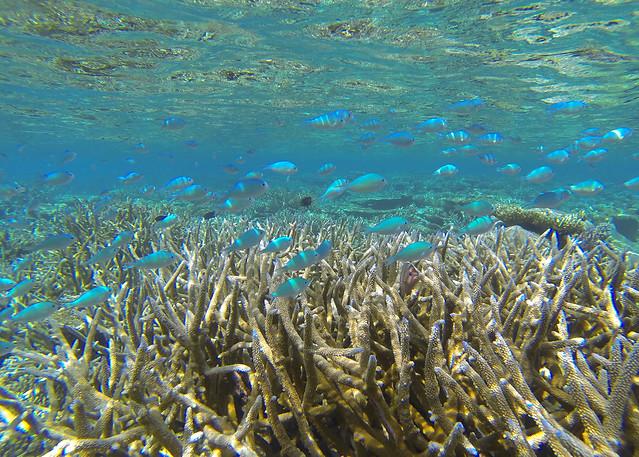 Banco de peces color turquesa nadando entre preciosos corales en las islas Maldivas