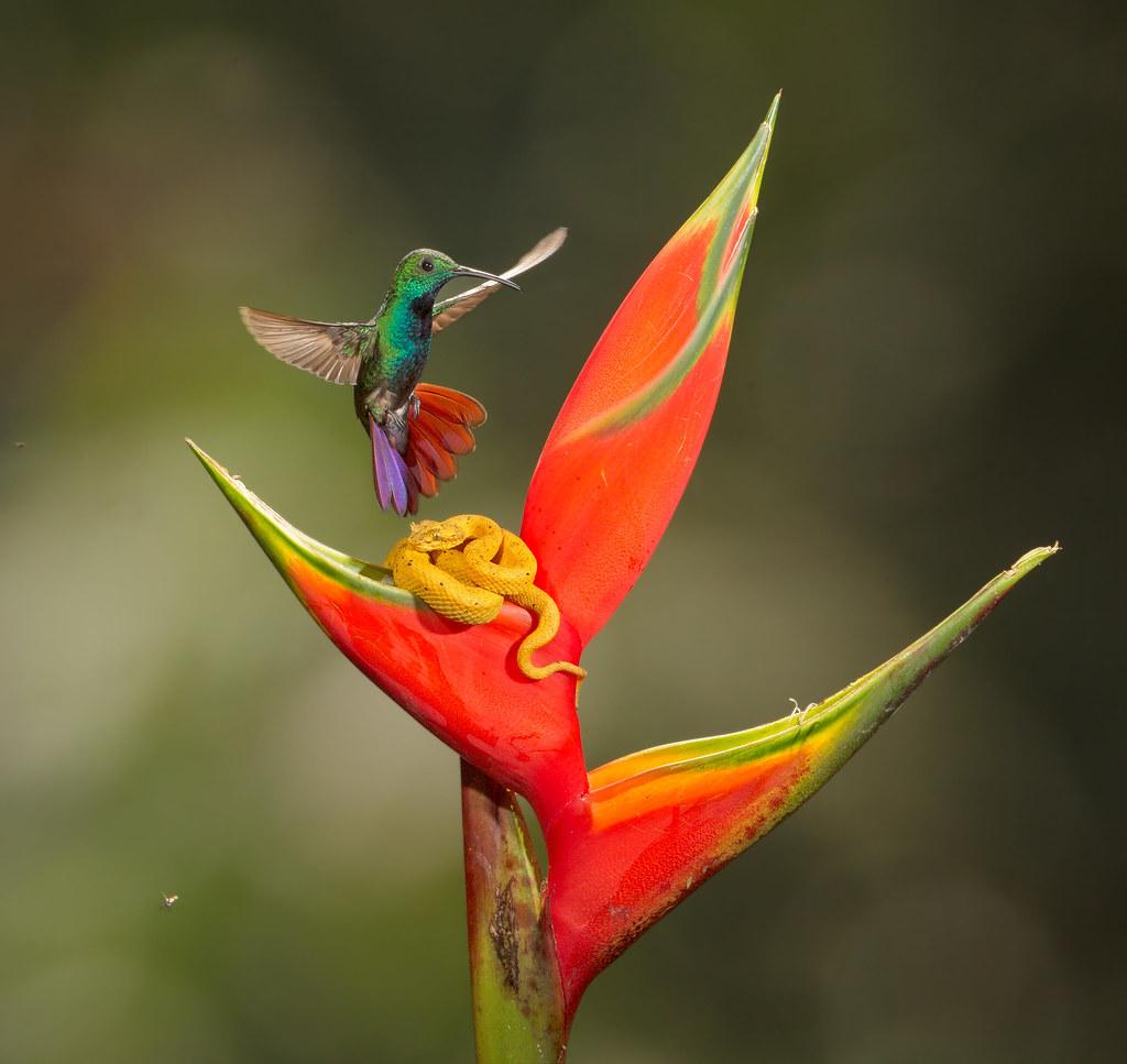 Eye Lash Viper Vs Green Breasted Mango Hummingbird Ii Flickr