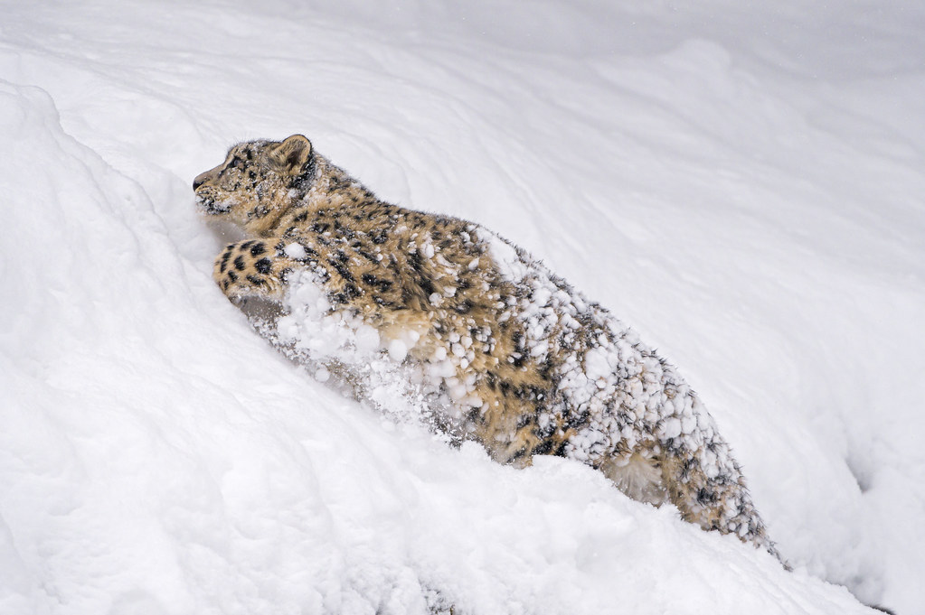 Orya Running Fast In The Snow A Cheetah Is Fast But A