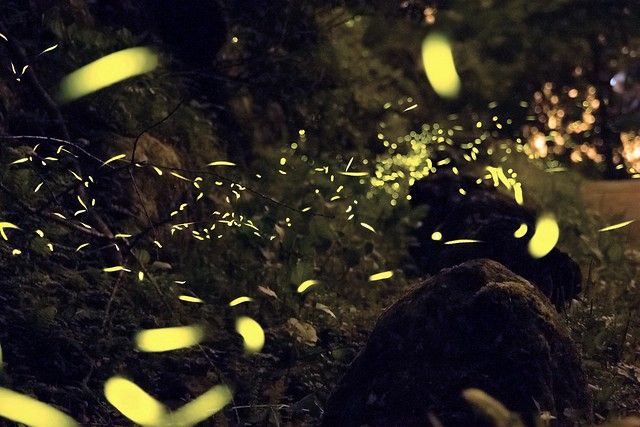 Swarm of fireflies glowing at night.