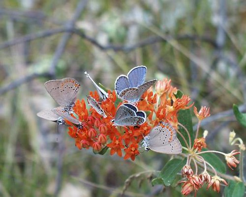 Cluster of Karner Blue Butterfly