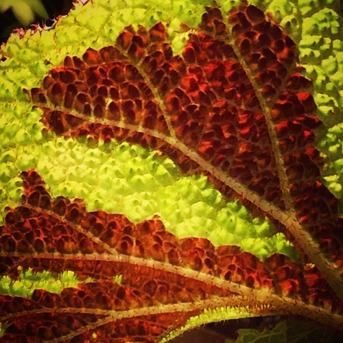 Cross Begonia Begonia Rex Iron Cross is