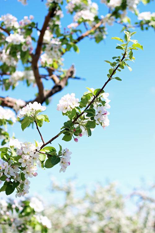 4_vergers-lafrance-pommiers-fleurs