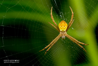 St Andrew's cross spider (Argiope sp.) - DSC_8148