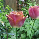 side view of fringed tulips