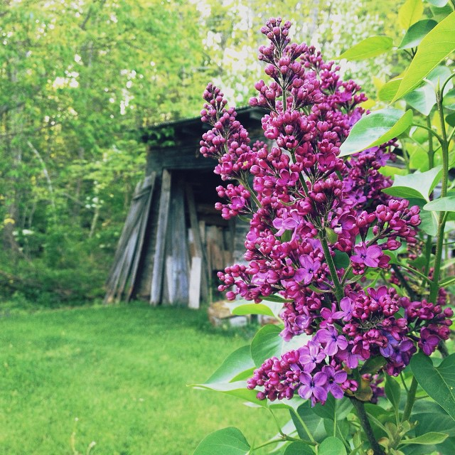 Why does lilac season also have to be blackfly season?