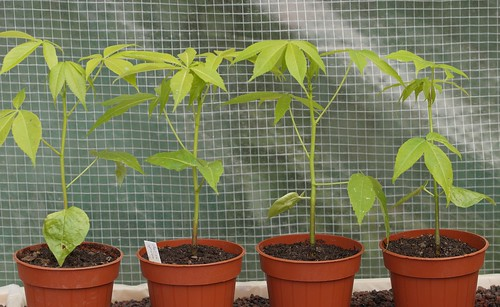 Ceiba speciosa (= Chorisia speciosa) 28350210145_6b2ee6d307