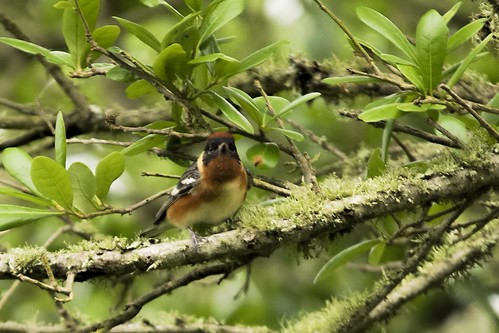 Peveto Woods, LA: Bay-breasted Warbler