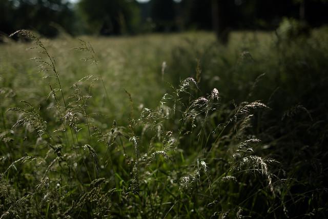 Summer grasses4