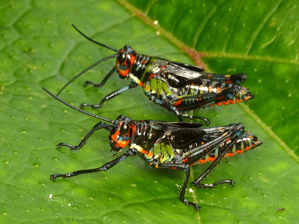 Grasshopper nymphs, Chromacris psittacus