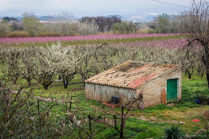 Caseta y campo de cerezos en la Sénia de Juanito Solàrio