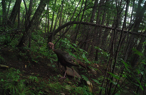 A wild turkey in a forest