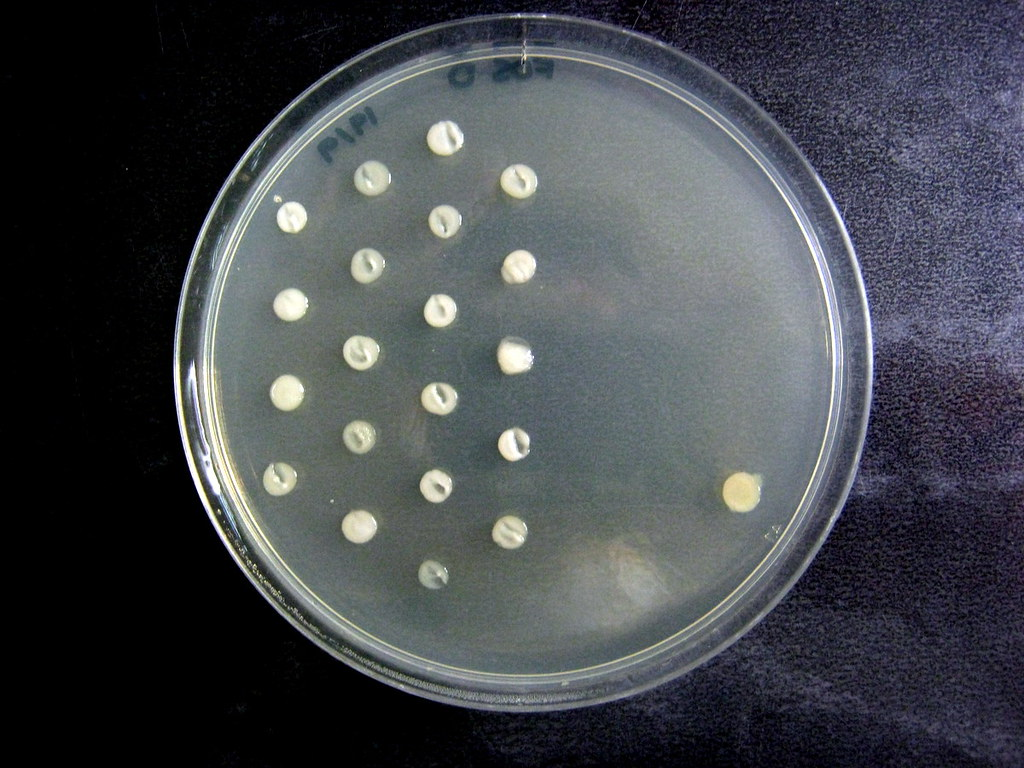 Agar dilution, Fosfomycin | mostly*harmless | Flickr