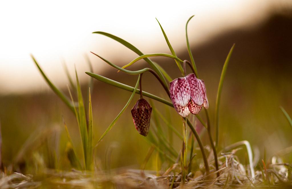 Kock�s Liliom | Flickr - Photo Sharing!