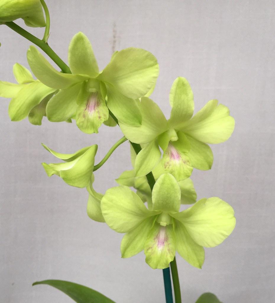 Dendrobium Aridang Green (Burana Jade x Olive Green) #dend ...
