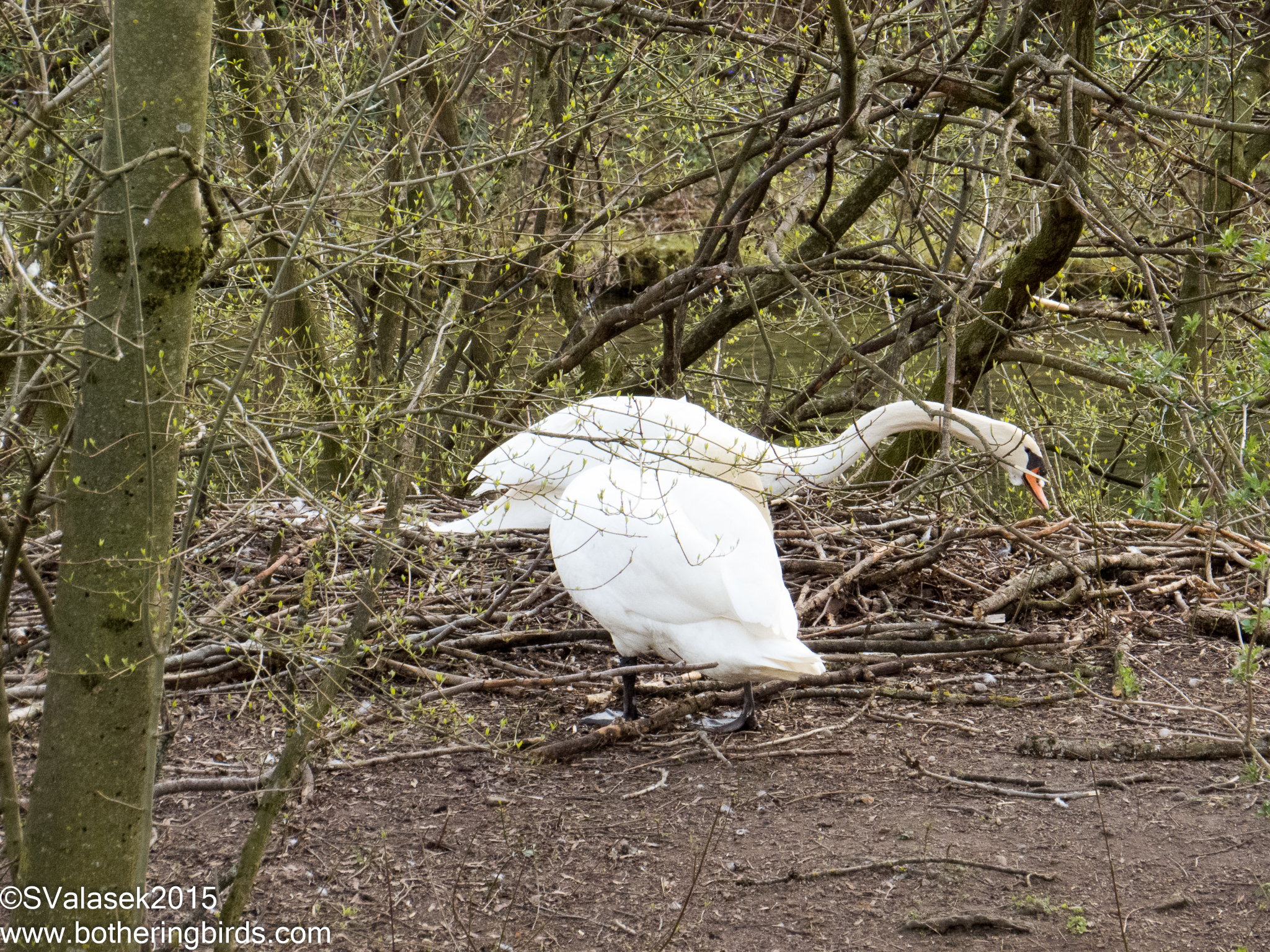 Mute Swans on nest