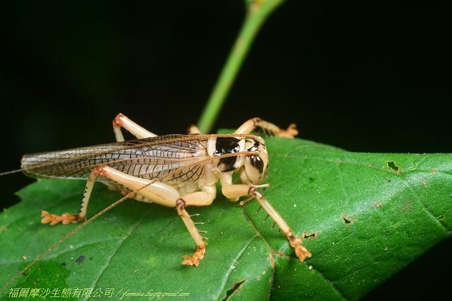 明透翅蟋螽雄體。圖片來源:金門國家公園管理處
