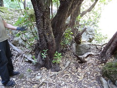 Ancien chemin d'exploitation en aval de la brèche : un bel arbousier