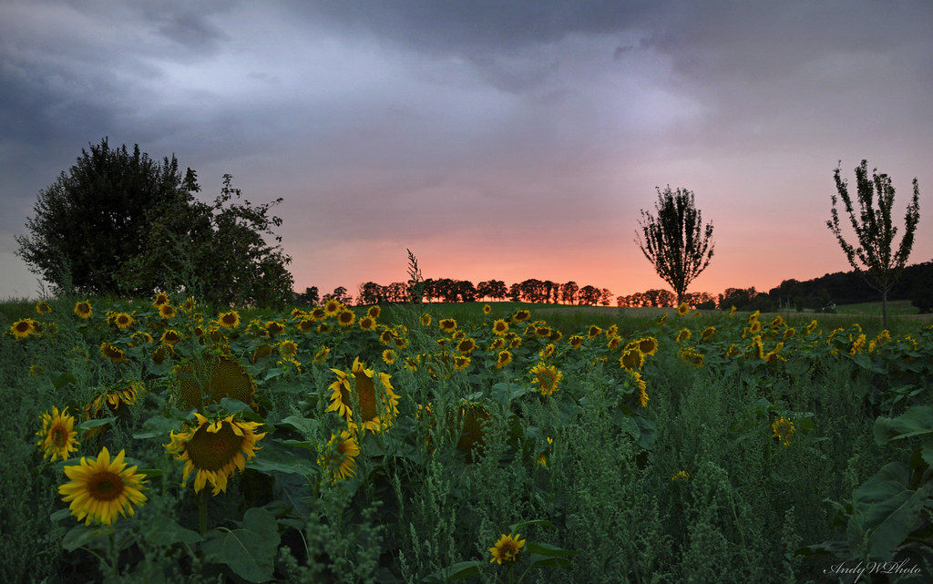 Sunflowers in the afterglow