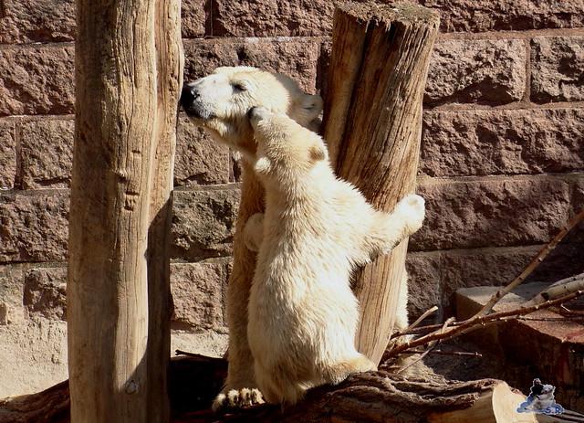 Eisbär Fiete Zoo Rostock 03.05.2015 Teil 1  68