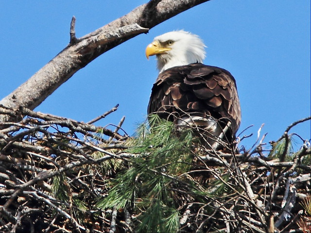Bald Eagle on nest 3-20150427