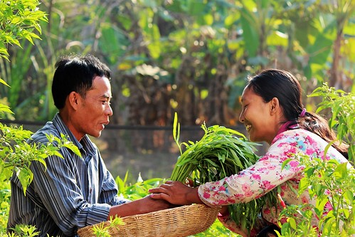 Farmers in Cambodia harvest morning glory