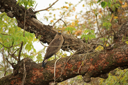 crested serpent eagle, with serpent