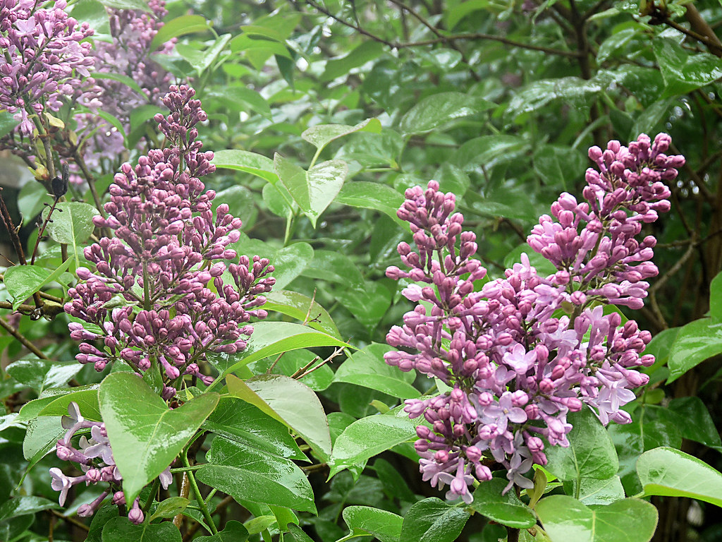 Old Fashioned Lilac Bush Care