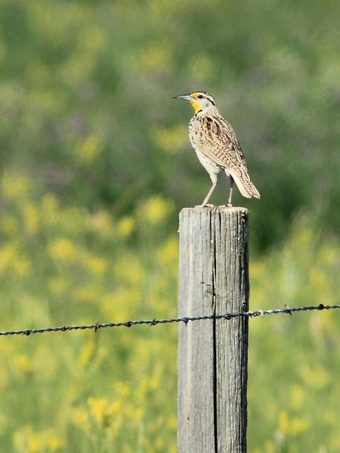 Western Meadowlark 01-20160618