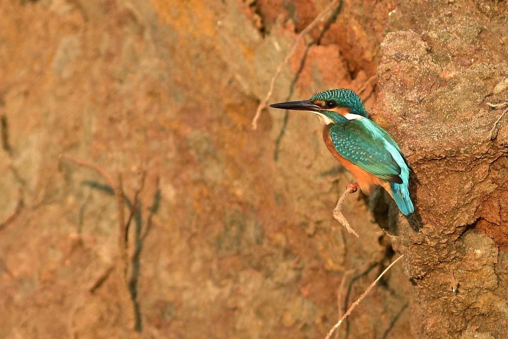 Common Kingfisher - Sri-Lanka
