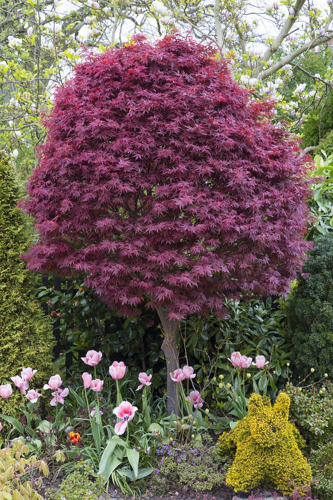 acer palmatum skeeter s broom in spring the pink. Black Bedroom Furniture Sets. Home Design Ideas