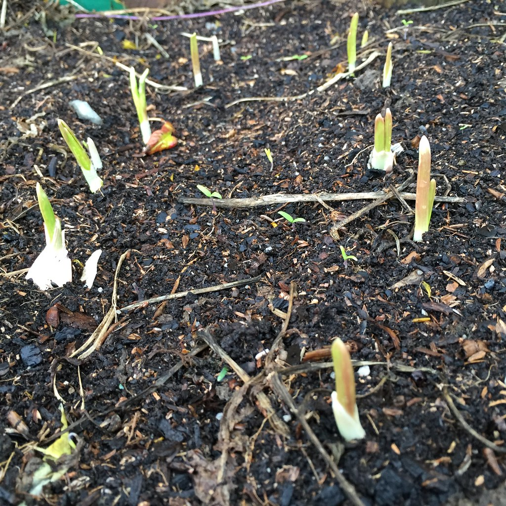 new garlic sprouts freshly popped out of the ground
