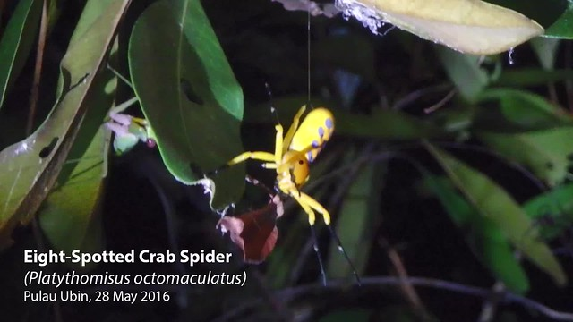 Eight-spotted crab spider (Platythomisus octomaculatus)