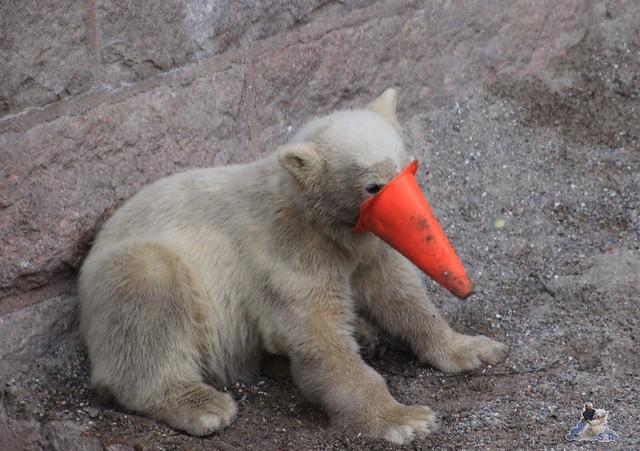 Eisbär Fiete im Zoo Rostock 23.05.2015 164