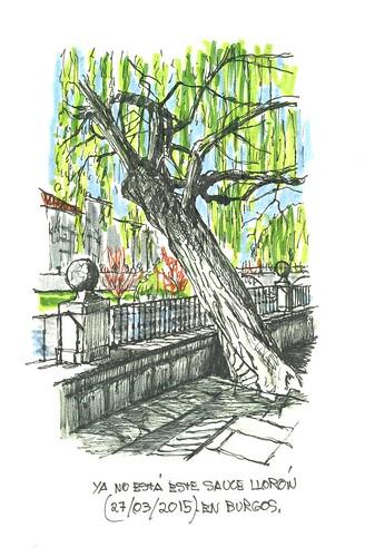 Burgos. Sauce llorón (Salix babylonica)