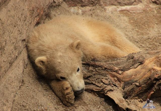 Eisbär Fiete im Zoo Rostock 23.05.2015 43