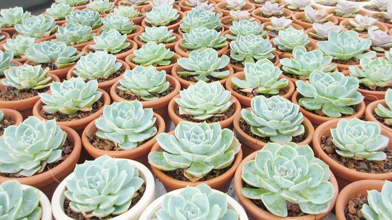caysenda.com | sen da | xuong rong | tieu canh sen da | art plant | terrarium | sen da thai