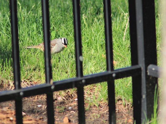 White-crowned Sparrow 20150511