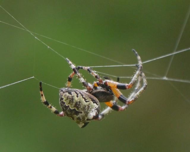 Spider: Giant Lichen Orbweaver (Araneus bicentenarius)