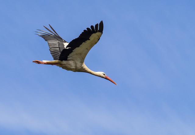 white stork 456 (102)