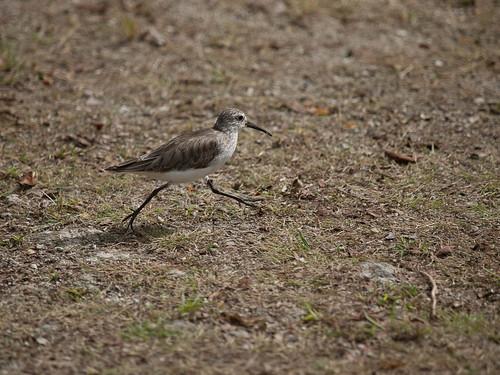 Curlew Sandpiper, Victoria, Mahe
