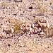Bighorn Sheep (4 Ewes + 2 Lambs) @ Fish Creek Camp, Anza-Borrego Desert State Park