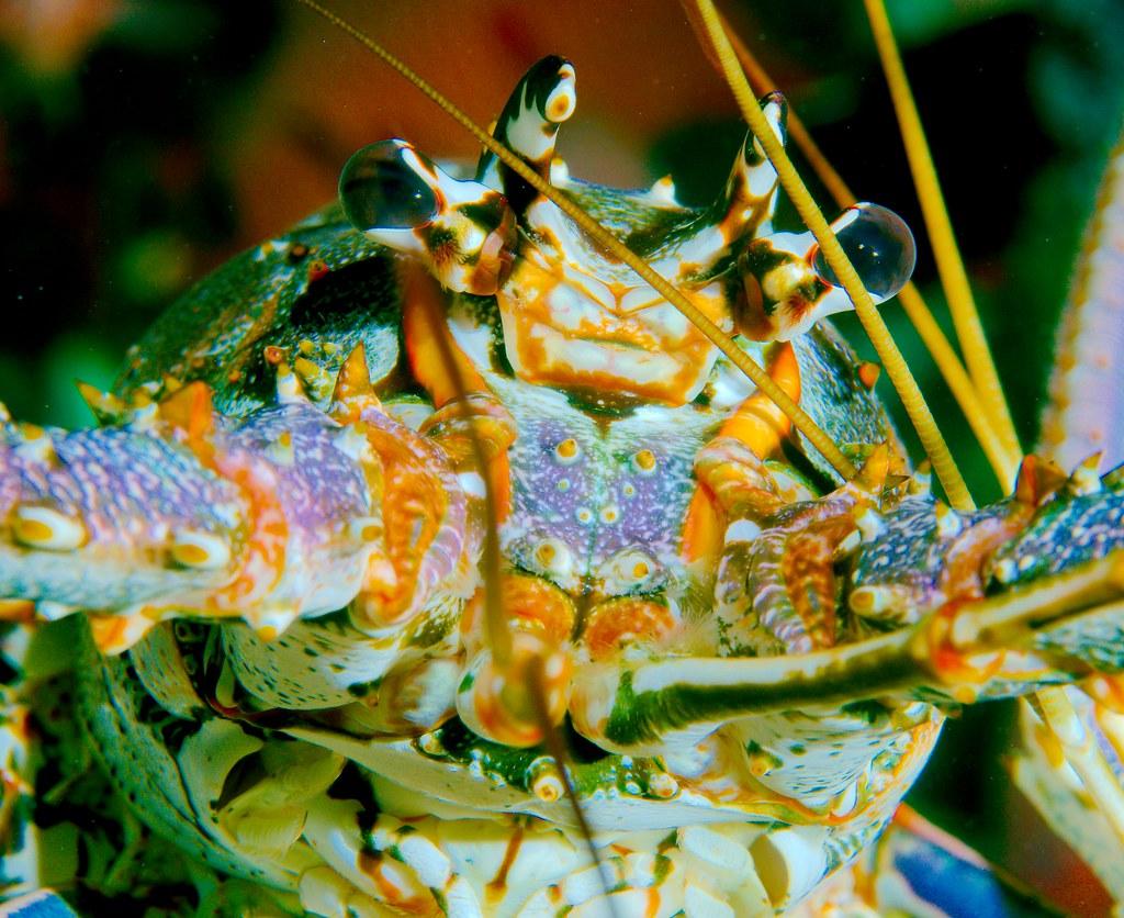 Caribbean Spiny Lobster (Panulirus argus)_7