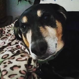 I hate Mondays too Tut. #dogsofinstagram #instadog #coonhoundmix #rescueddogsofinstagram #muttsofinstagram #ilovemyseniordog #seniordog #muttstagram #houndmix #adoptdontshop